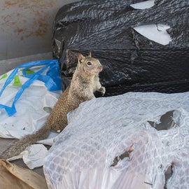 Desperate squirrel cannot get out of dumpster