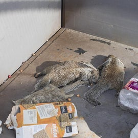 Dead squirrels died from heat prostration and thirst. That's so wrong and cruel... :(