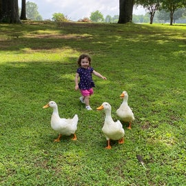 ducks are really tame and let my daughter chase them