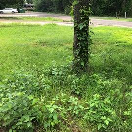 Poison Ivy all around
