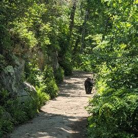 black bear siting on a hike to laurel creek falls