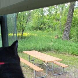 Cat and deer encounter