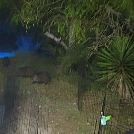 nightly visitors. Javelinas