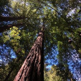 up into the redwoods