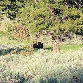 Bison grazing in the middle of the campground.