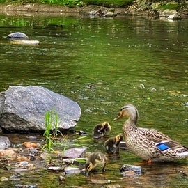 Duck family at our campsite along Marsh Creek