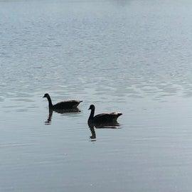 geese everywhere