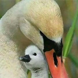 The beautiful baby swans 🦢 born May 2021