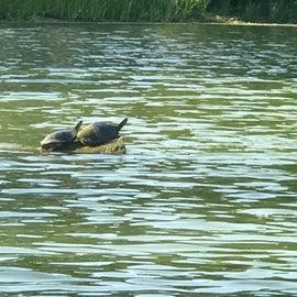 Turtles sunning on Lake 1