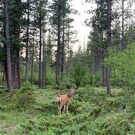 deer at our campsite