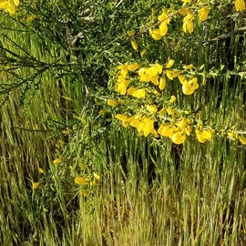 Scotch Broom blooming in April at Fort Ebey