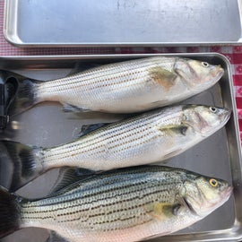 3 stripers in the morning!