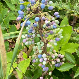 I don't think this is huckleberry, but there is a ton of it near the entrance