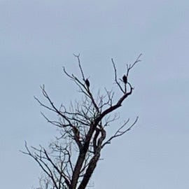 2 Bald Eagles at the same time!!