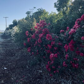 Rosebushes on the way in