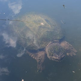 old big snapper cool to see