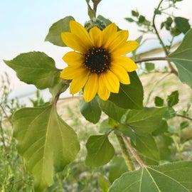 Native ND Sunflower