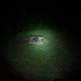 Skunks checking out the grease in a fire pit