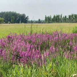 Purple Loosestrife near the Missouri River