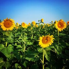 Sunflower field outside SRA