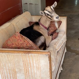 goat relaxing at the farm