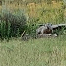 a shy badger