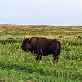 You may not always see the bison, but when you do...