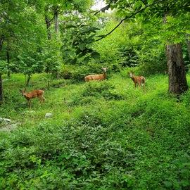 Deer on Fire Road Trail