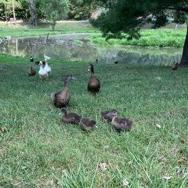 Ducks galore!