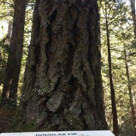 Douglas fir trees!