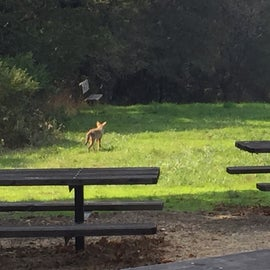 A young coyote looking for scraps near the picnic tables
