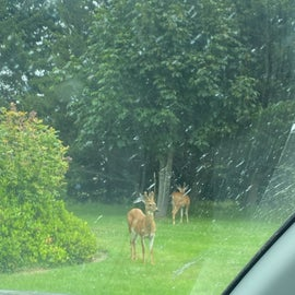 bachelor groups of deer all over the place