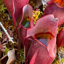 Carnivorous pitcher plans on the bog walk