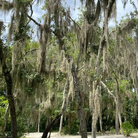 Spanish moss hanging from just about everything