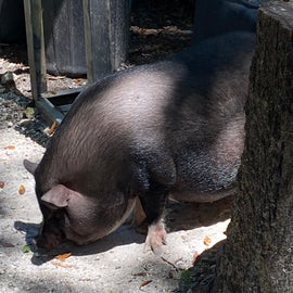 Myrtle the pig loved to play checkers with us