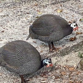 Upon closer inspection, these birds look more like quails (they aren't) but look at those 'skeleton masks'!  Creepy!