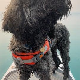 paddleboard pup