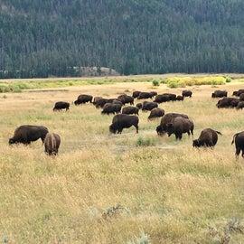 Bison herd YNP