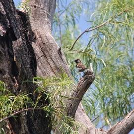 Sparrow at Smugglers birding property in Portal, AZ
