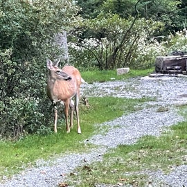 Deer are abundant in the Seawall Campground