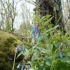 Bluebells in bloom!