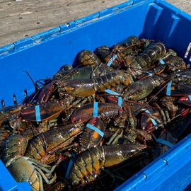 Lobsters landing at the Freeport town dock