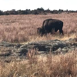 Bison in the Wichita Mountains Wildlife Refuge nearby