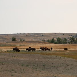 Herd of bison in the field right next to the campground.