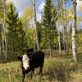 Cow friends at the campground