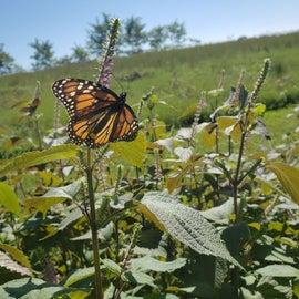 Turkey Point Monarch