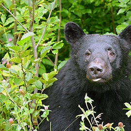 black bears commonly seen in town