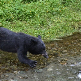 black bear jumping in for a fish
