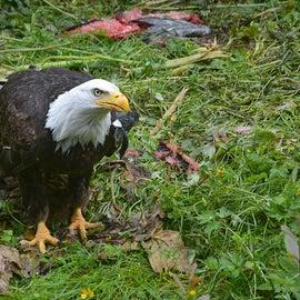 eagle picking up scraps