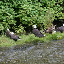 eagles waiting on the fish